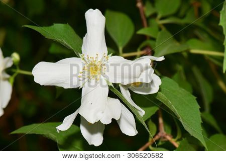 Close-up Of White Spring Jasmine Jasminum Officinale With White Petals Growing In The Foothills Of T