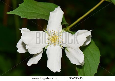 Close-up Of White Jasmine Inflorescence Of Jasminum Officinale With White Petals Growing In The Foot