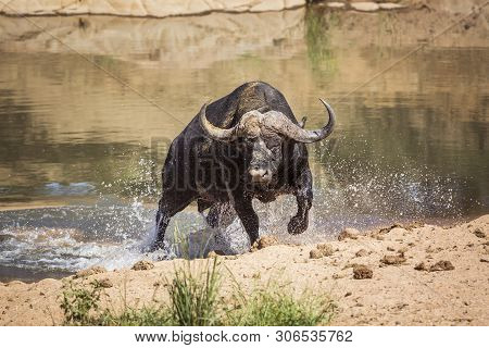 African Buffalo Attacked By Crocodile In Kruger National Park, South Africa ; Specie Syncerus Caffer