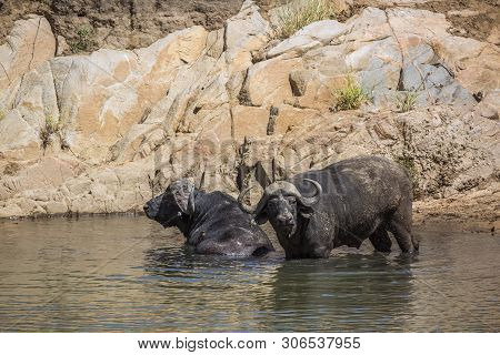 Two African Buffalos Bulls Bathing In Waterhole In Kruger National Park, South Africa ; Specie Synce