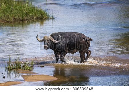 African Buffalo Running In River In Kruger National Park, South Africa ; Specie Syncerus Caffer Fami