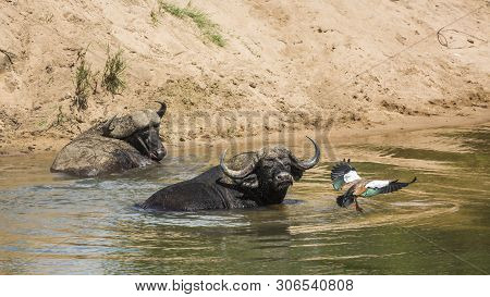 Two African Buffalo Bathing And A Goose Flying In Kruger National Park, South Africa ; Specie Syncer