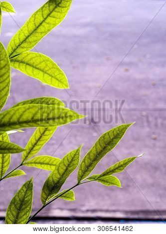 Green Leaves Of Mahogany Beside The Concrete Footpath