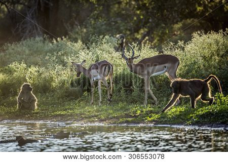 Chacma Baboon And Impalas In Lakeside In Kruger National Park, South Africa ; Specie Papio Ursinus F