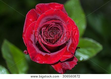 Natural Bright Roses Background. Bright Red Rose For Valentine Day. Closeup, Macro Shot. Red Rose Fl