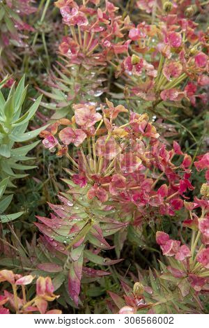 Flora Of Mount Etna Volcano, Pink Blossom Euphorbia Rigida, Gopher Spurge, Upright Myrtle Spurge Flo