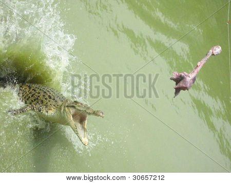 crocodile aim for meat