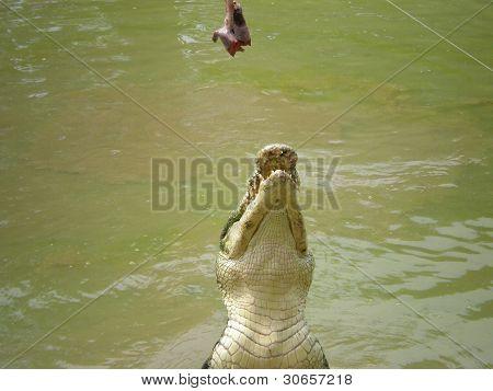 crocodile aim meat