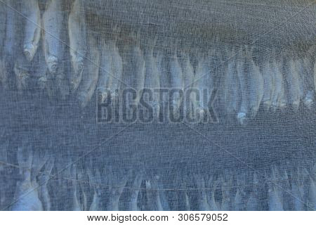 dried roach hangs and dries under gauze view of a bottom-up poster