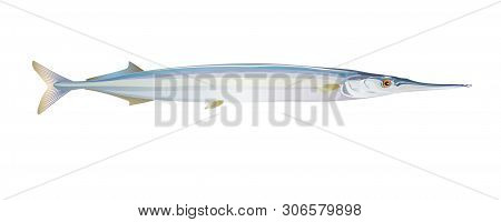 European Garfish Fish, Isolated On Light Background. Fresh Seafood In A Simple Flat Style. Vector Fo