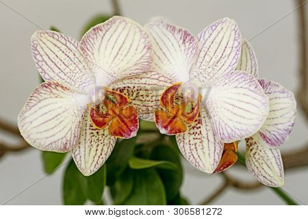 White Orchids Macro Background Wallpapers High Quality Prints Fine Art Gallery Orchidaceae Family.