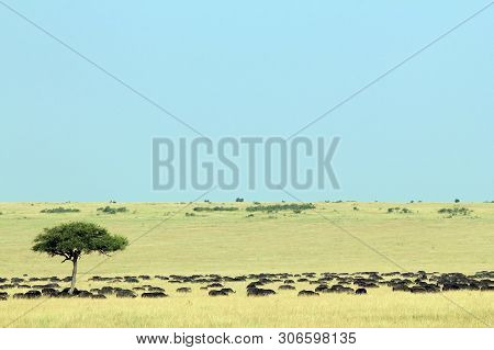 African Buffalo Herd (syncerus Caffer, Aka Cape Buffalo) On The Savannah. Maasai Mara, Kenya