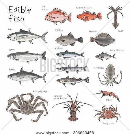 Type of edible fishes, hand drawn sketch watercolor illustration (tuna, bonito, salmon, red snapper, marbled rockfish, filefish, horse mackerel, jack mackerel, mackerel, cod, cod fish, crab, shrimp, prawn, lobster, squid, cuttlefish) poster