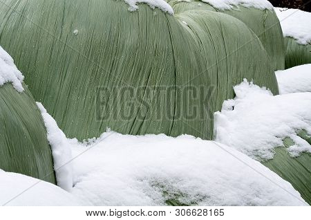 Silage Bales Wrapped With Plastic Stored On A Farmyard In Winter Covered With Snow