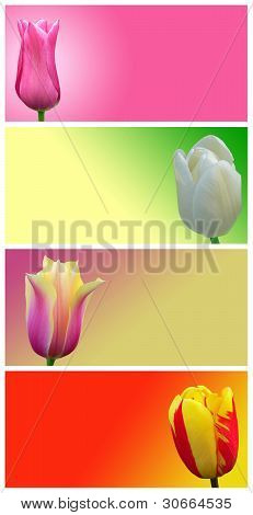 Red, Yellow, White And Pink Tulips On A Colored Background. Abstract Image Flowers.
