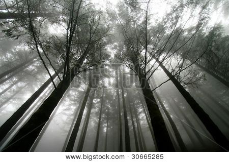 trees at a foggy scenery