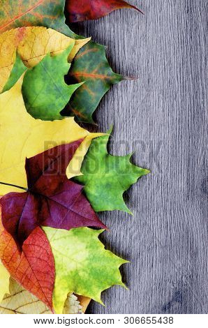 Border Of Various Colorful Autumn Birch, Maple, Aspen And Alder Leafs Closeup On Wooden Background.