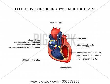 Vector Illustration Of Electric Conducting System Of The Heart