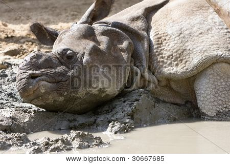 poster of Rhino having a mud bath at Kruger National Park, South Africa
