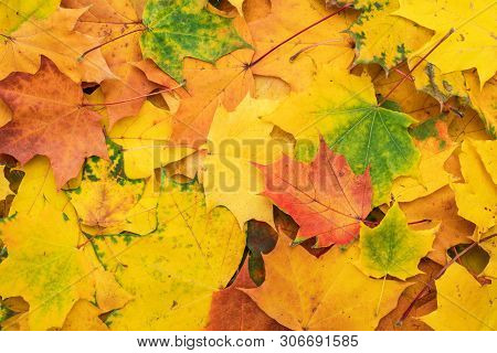 Colorful Autumn Leaves. Fallen Autumn Leaves Seasonal Concept. Background Made Of Autumn Leaves. Hor