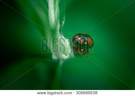Two Mating Ladybugs, Macro Photo, Close Up, Insect, Ladybugs Eating On A Leaf, Coccinellidae, Arthro