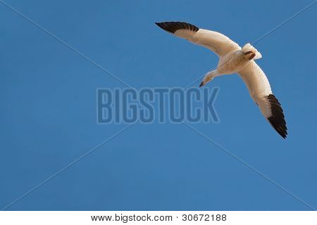 snow goose in the clear blue