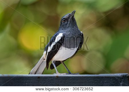 Oriental Magpie-robin - Copsychus Saularis Small Passerine Bird That Was Formerly Classed As A Membe