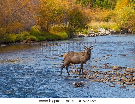 Elk crossing stream in Rocky Mountain National Park poster