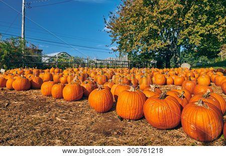 Pumpkin patch. Fresh pumpkins on a farm field. Rural landscape, Massachusetts, USA