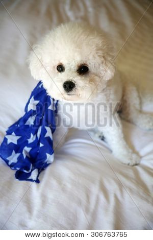Bichon Frise Dog on White Bed. A pure white Bichon Frise Dog on a White Goose Down Comforter on a bed.