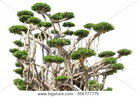 Tako Trees Bending.isolated Tree On White Background ,bending Trees Database Botanical Garden Organi
