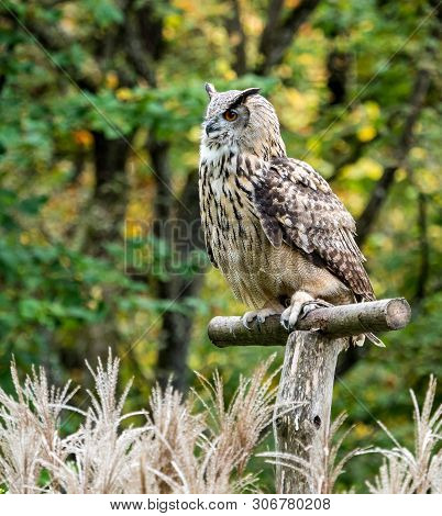 The Siberian eagle owl, bubo bubo sibiricus is the biggest owl in the world. poster