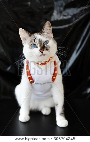 White blue-eyed cute cat dressed in t-shirt and a red leather harness. Stylish outfit with accessories. Black background poster