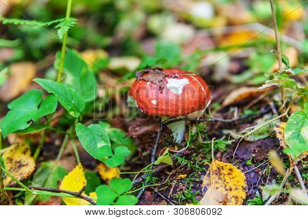 Edible Small Mushroom Russula With Red Russet Cap In Moss Autumn Forest Background. Fungus In The Na