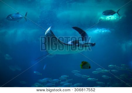 Devil fish (Mobula mobular), also known as the giant devil ray.