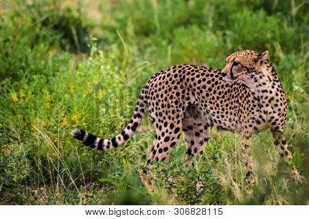 A Leopard Walking In The Forest In Samburu Park In Central Kenya