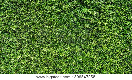 Green Leaves And Natural Background Concept - Beautiful Green Leaves Wall Background In Natural Gard