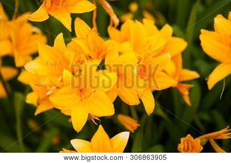 Hemerocallis fulva or the orange day-lily, tawny daylily