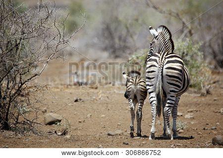Burchells Zebra (equus Burchelli) With Foal. Timbavati, Kruger Park, South Africa