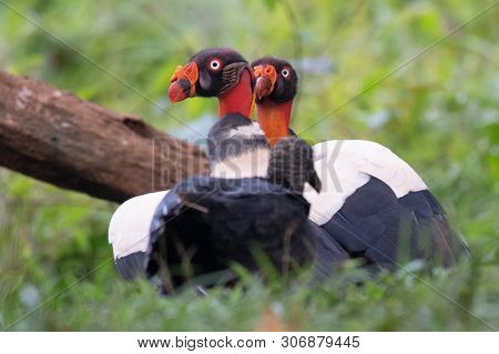King vulture, Sarcoramphus papa, large bird found in Central and South America. Flying bird, forest in the background. Wildlife scene from tropic nature. Red head bird. Condor with open wing, Panama poster