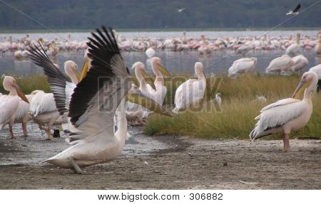Pelican Takeoff, Crowded Shore