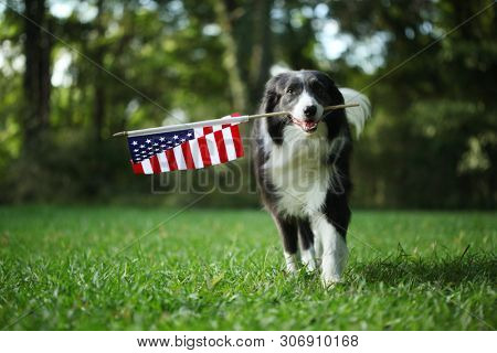 Border collie dog running outside carrying the American Flag