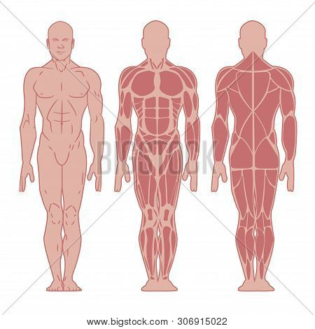 Stylized Muscle Man Anatomy. Image Front And Back. Male Body Major Muscles, Flat Cartoon Vector Styl