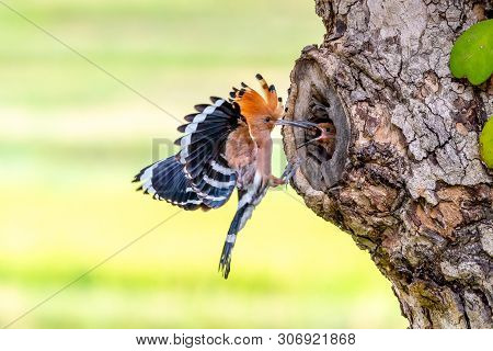 Parent Bird Feeding A Chick In A Nest In A Tree Hole. Eurasian Hoopoe Or Common Hoopoe (upupa Epops)