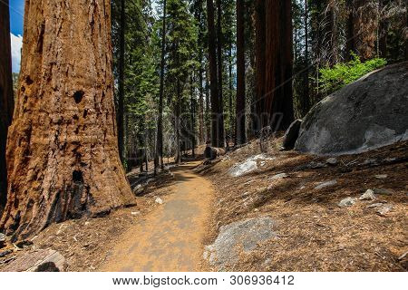 Congress Trail In Sequoia National Park In California, United States