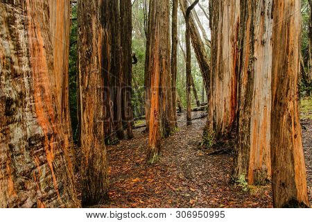 Hosmer Grove In Haleakala National Park In Hawaii, United States