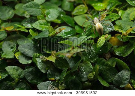 Malagasy green lynx spider (Peucetia madagascariensis). Wildlife animal.