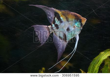 Angelfish (Pterophyllum scalare), also known as the freshwater angelfish.