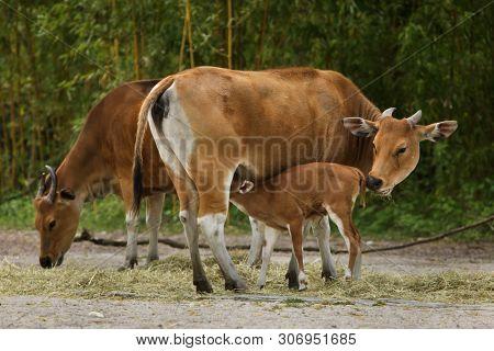 Javan banteng (Bos javanicus), also known as the tembadau feeding its newborn calf.