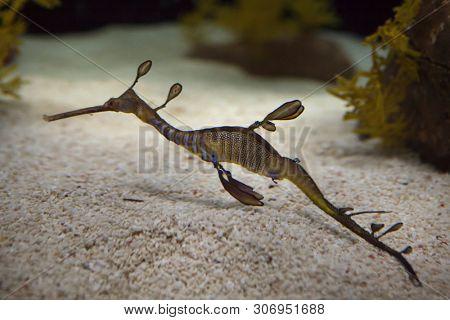 Weedy seadragon (Phyllopteryx taeniolatus), also known as the common seadragon.